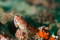 BD-110319-Puerto-Galera-4060-Synodus-variegatus-(Lacepède.-1803)-[Variegated-lizardfish].jpg